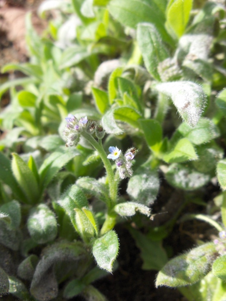 early forget-me-not / Myosotis ramosissima