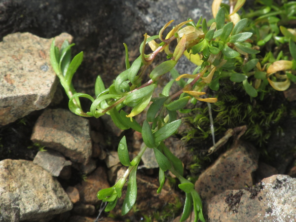 starwort mouse-ear / Cerastium cerastoides: _Cerastium cerastoides_ is a mat-forming Arctic–Alpine plant found on Scotland's highest mountains; it has oblanceolate leaves and round, purplish stems adorned with a single line of hairs.