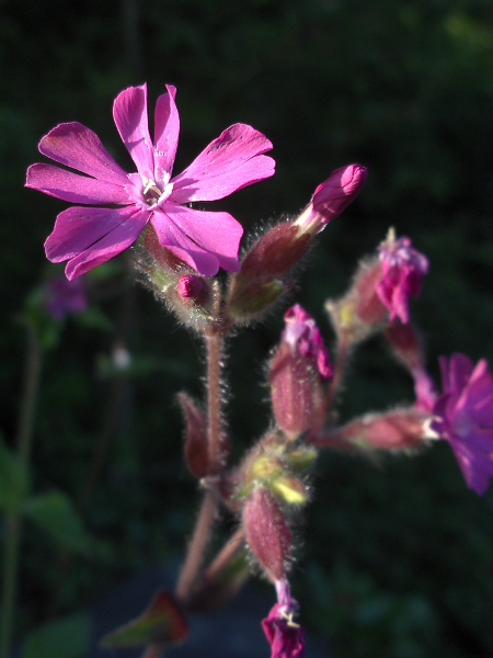 red campion / Silene dioica: Inflorescence of a male plant