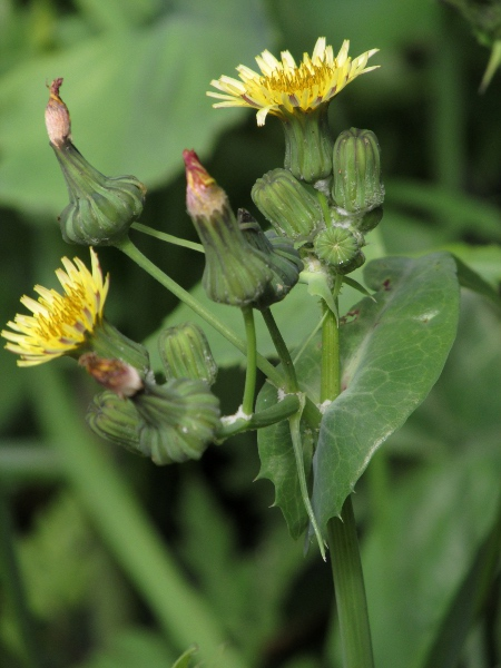 smooth sow-thistle / Sonchus oleraceus