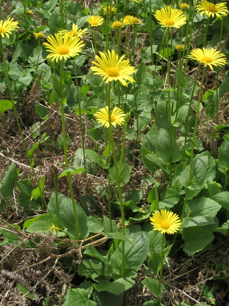 leopard's bane / Doronicum columnae: The basal leaves of _Doronicum columnae_ are cordate and distinctly toothed.