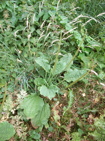 greater plantain / Plantago major