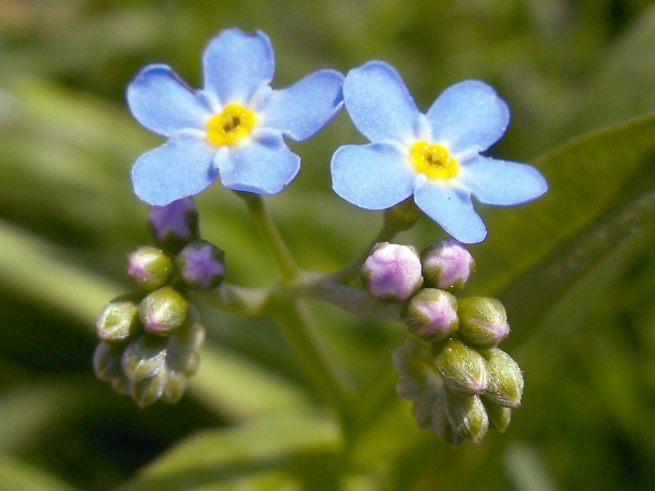 water forget-me-not / Myosotis scorpioides: _Myosotis scorpioides_ is our only forget-me-not in which the style is longer than the calyx and can protrude from the corolla.