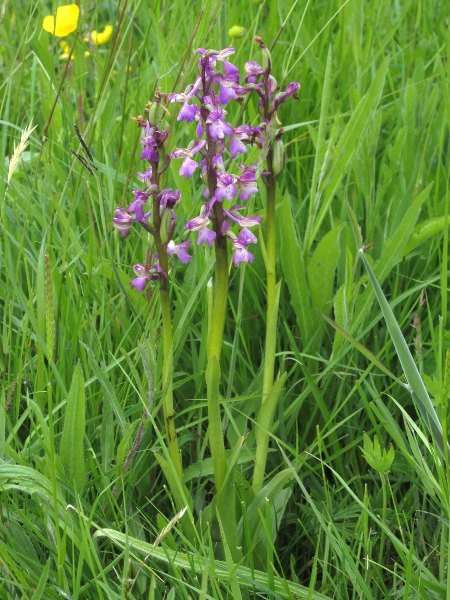 green-winged orchid / Anacamptis morio: _Anacamptis morio_ grows in usually base-rich undisturbed grassland at sites scattered across England, Wales, central Ireland, and single coastal sites in West Kerry, County Down and Ayrshire.