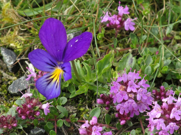 mountain pansy / Viola lutea: Despite its name, _Viola lutea_ (seen here with _Thymus drucei_) is often purple-flowered rather than yellow.