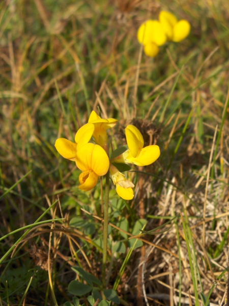 greater bird's-foot trefoil / Lotus pedunculatus