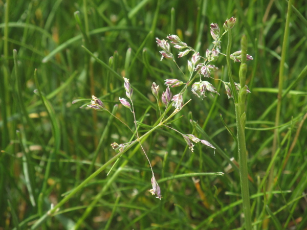 spreading meadow-grass / Poa humilis