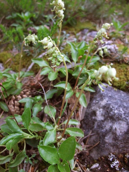serrated wintergreen / Orthilia secunda: _Orthilia secunda_ grows in the heathy understorey of woodlands; it is mostly found in Scotland, with scattered sites in upland areas of England, Wales and Ireland.