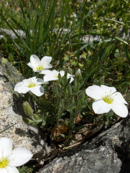 large-flowered sandwort / Arenaria montana: Habitus