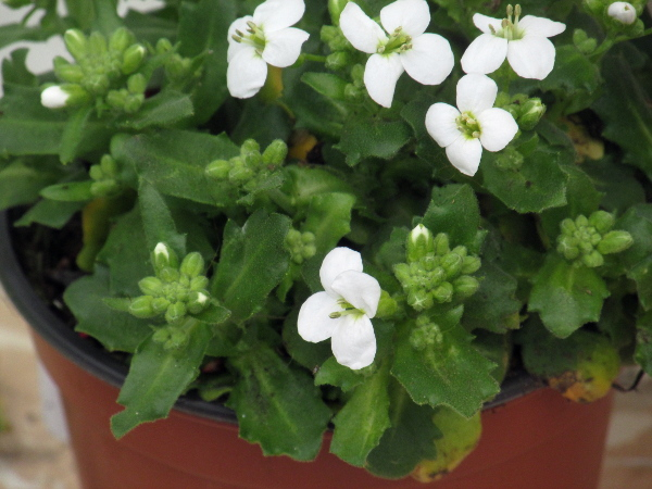 garden arabis / Arabis caucasica: _Arabis caucasica_ is a frequent escape from gardens. It is similar to the extremely rare native _Arabis alpina_, but has narrower auricles on its stem leaves and longer petioles on its basal leaves.