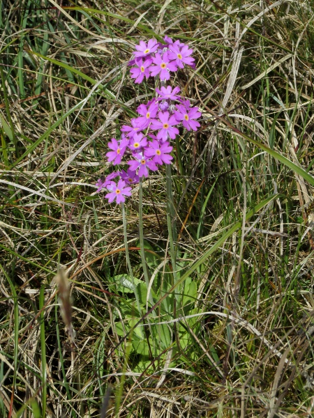 bird's-eye primrose / Primula farinosa: _Primula farinosa_ is an Arctic–Alpine plant with a floury bloom on most parts.