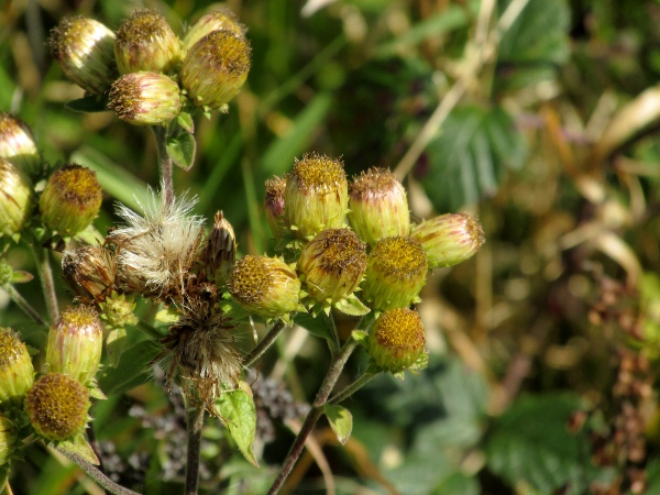 ploughman's spikenard / Inula conyzae: The phyllaries of _Inula conyzae_ are curved outwards at the tip.