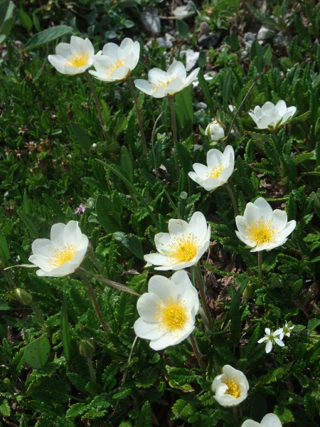 mountain avens / Dryas octopetala: _Dryas octopetala_ is an Arctic–Alpine dwarf shrub with distinctive shiny, crenate leaves, and distinctive (approximately) 8-petalled white flowers.
