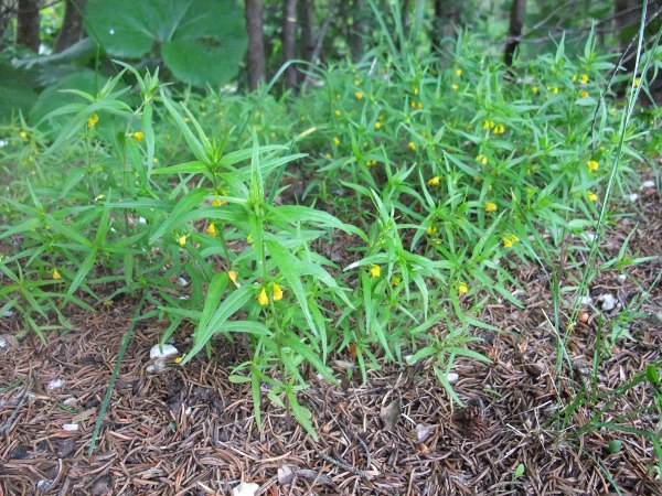 small cow-wheat / Melampyrum sylvaticum