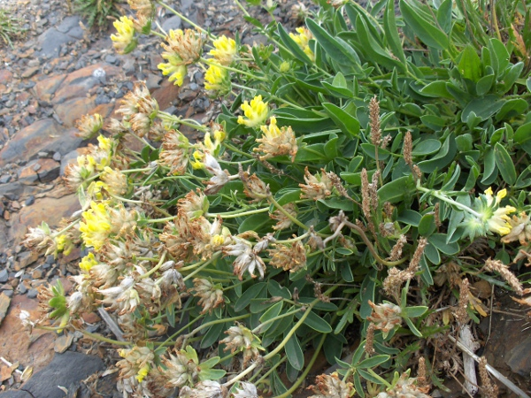kidney vetch / Anthyllis vulneraria
