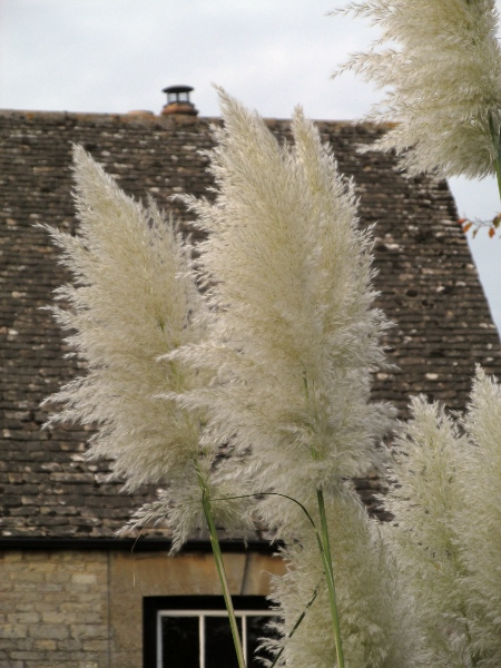 pampas grass / Cortaderia selloana: Inflorescences