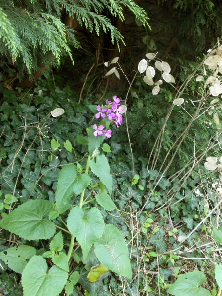 honesty / Lunaria annua: Habitus