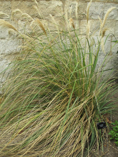 early pampas grass / Cortaderia richardii