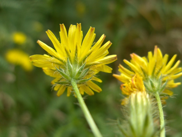 bristly hawk's-beard / Crepis setosa: Capitulum from below