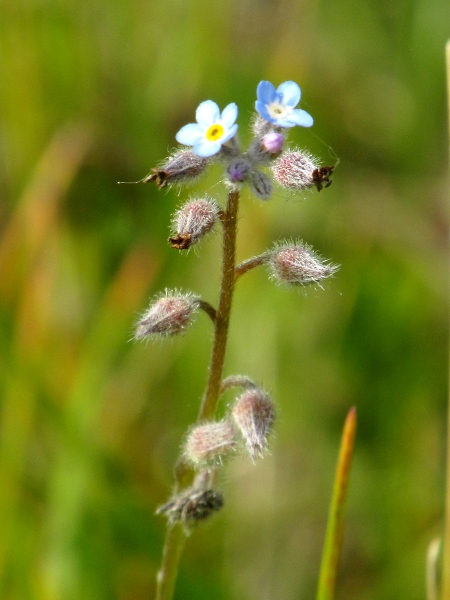 field forget-me-not / Myosotis arvensis: In fruit, the calyx of _Myosotis arvensis_ narrows towards the tip; its hairs are long and hooked at the tip.