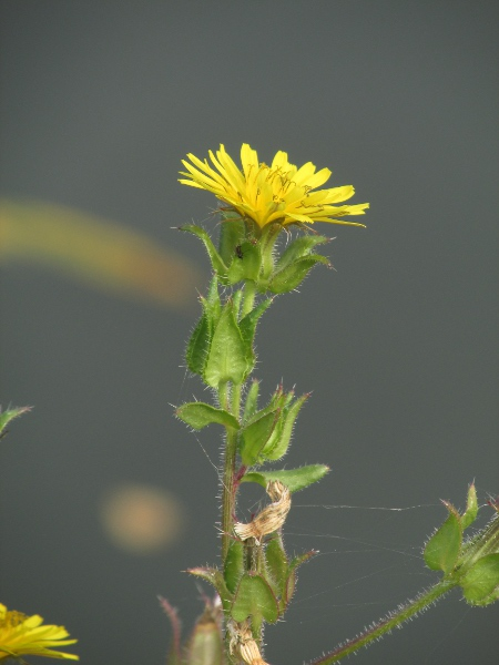 bristly oxtongue / Helminthotheca echioides: Inflorescence