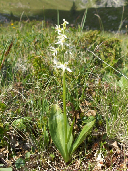 lesser butterfly-orchid / Platanthera bifolia: _Platanthera bifolia_ is a widespread but local species of woodland and heaths.