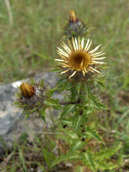 carline thistle / Carlina vulgaris