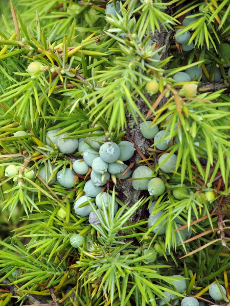 common juniper / Juniperus communis subsp. communis: Leaves and ripening berries