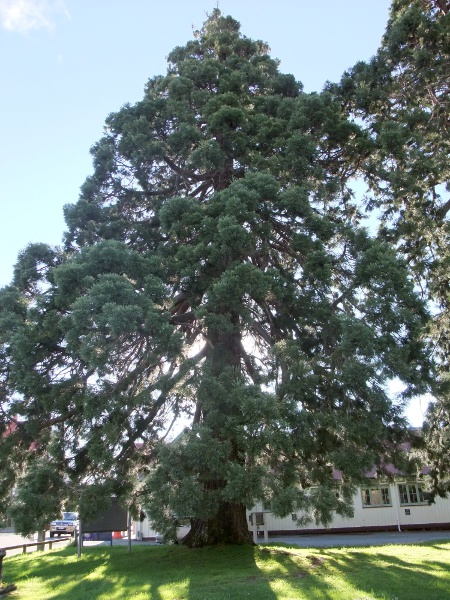 wellingtonia / Sequoiadendron giganteum: Large, mature tree. This species includes the tallest trees in the world.