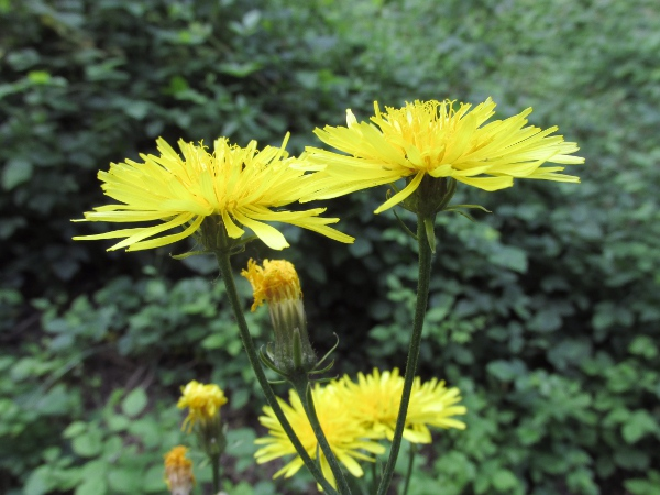 rough hawk's-beard / Crepis biennis